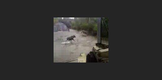 Pagalmā ieklīdis alnis sarīko jandāliņu (video)