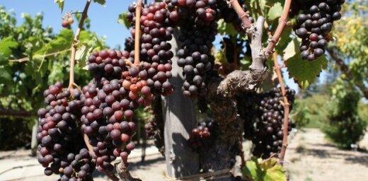 Vēlo vīnogu šķirņu audzētājiem šogad var vispār nebūt ražas, bažīga asociācija