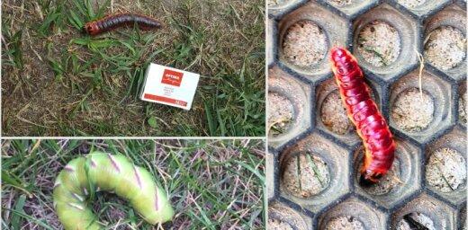 Foto: Milzu kāpuri Latvijas pagalmos – izmērs atbilstošs sugai, teic speciālists