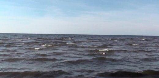 Video: Jūras viļņos cēli peld gulbju bariņš