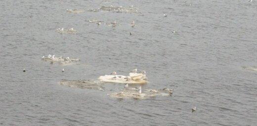 Putni Daugavā atraduši sev izklaidi