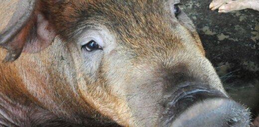 Евросоюз выставит России счет за свинину на 1,4 млрд евро