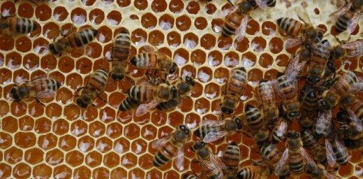 Aizvadītajā ziemā Latvijā gājuši bojā 16,6% bišu saimju, secinājusi biedrība