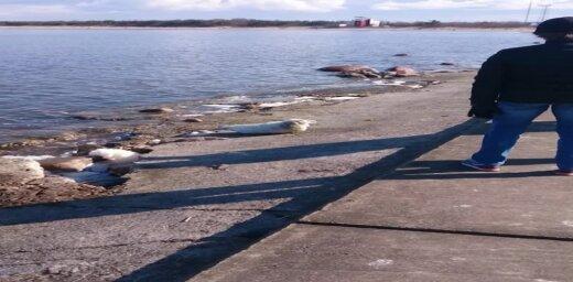 Video: Mangaļsalas molā izskalots sapiņķerējies ronēns