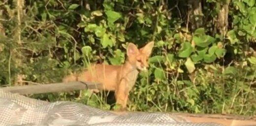 Video: Kā mazie lapsēni atpūšas Jūrmalā