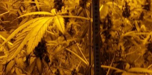 Jaunpiebalgas pagastā atrod marihuānas audzētavu