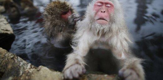 """В японском зоопарке усыпили 57 макак из-за """"чужеродных"""" генов"""