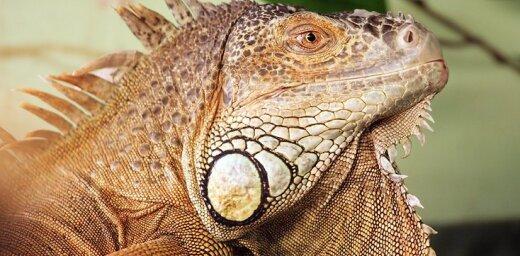 Video: Ziņkārīga iguana iztraucē Hāsa un Veselija spēli Maiami 'Open'