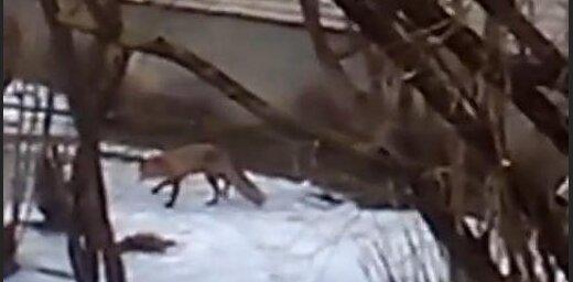 Dzīvojamo māju pagalmā Rīgā šiverējas lapsa (video)