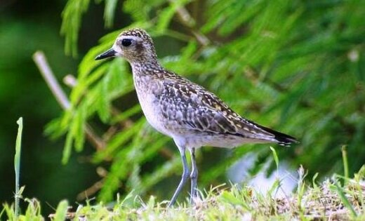 Septembrī Latvijā novērotas divas jaunas putnu sugas