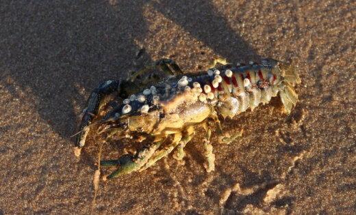 Foto: Ziemassvētkos Vakarbuļļu pludmalē pastaigājas vēzis