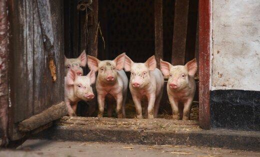 В хозяйстве, где зарегистрирована АЧС, выявлены существенные нарушения биобезопасности