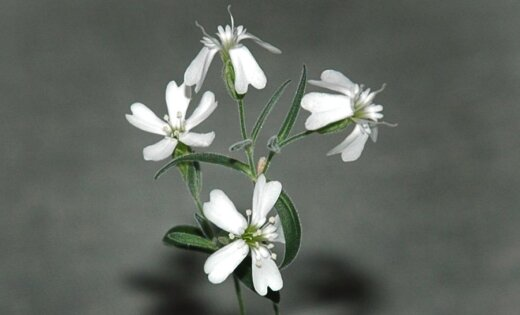 Krievijā izdiedzēta puķe no 30 tūkstošus gadu vecas sēklas