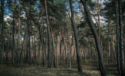 Imants Baumanis: Vai gada koka godā izraudzītā priede saglabās līderpozīcijas mūsu mežos?
