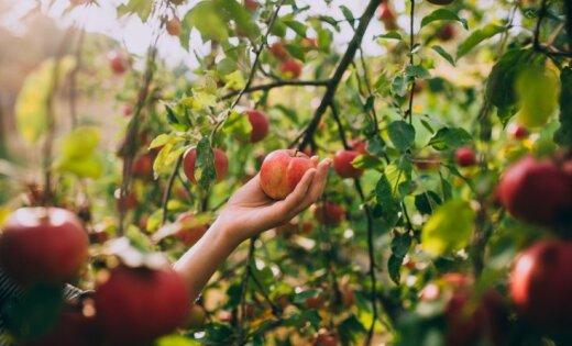 Садоводы: из-за засухи и жары урожай фруктов может быть на 40% меньше