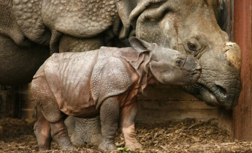Носорогов секс