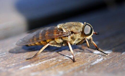 Читатель: Почему в этом году так много слепней и почти нет комаров?