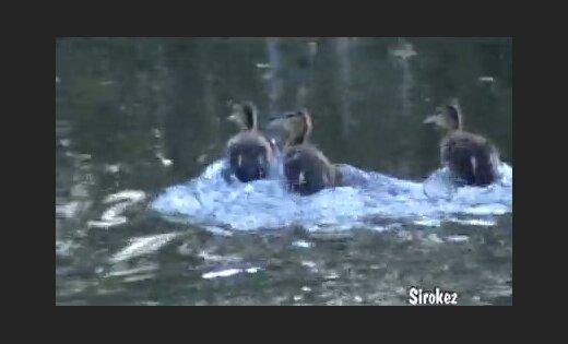 Pīlēni bizo ar 'kosmisku ātrumu' (video)