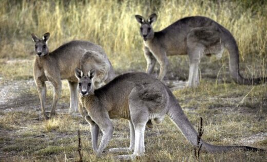 ВАвстралии женщина подралась скенгуру, защищая дочь