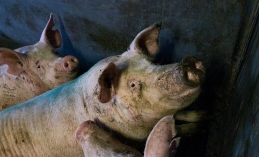 The swine fever afflicted by Druvas Unguros & # 39; has ended the elimination of pigs