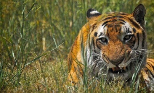 Тигр растерзал смотрительницу вбританском зоопарке