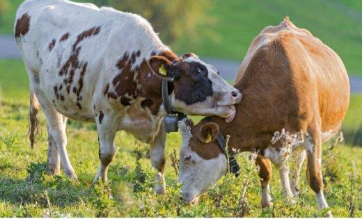 Все больше хозяйств, оценивая цены на молоко, переходят к производству мяса