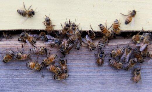 Latvijas biškopjiem šis gads bijis mazliet sliktāks nekā iepriekšējais