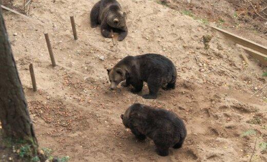 Līgatnes lāčus Miku un Puiku pārvietos uz 'Mežvairogiem'
