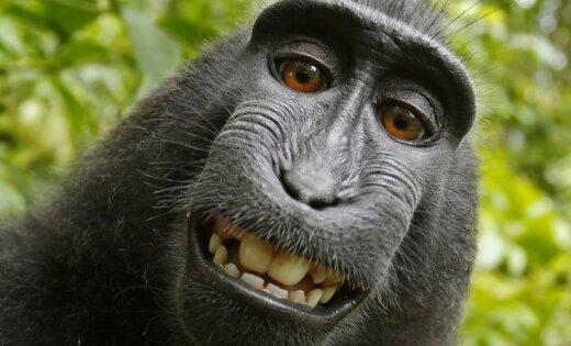 Фотограф победил в двухлетней тяжбе за авторские права с обезьяной