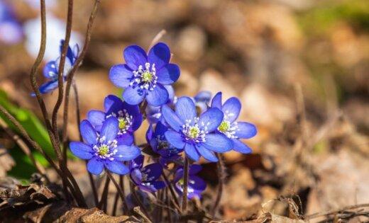 РОДНЫЕ ПЕНАТЫ - Страница 13 Vizbulites-pavasaris-aprilis-45680204