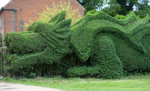 Dārznieks no dzīvžoga izveido milzu pūķi
