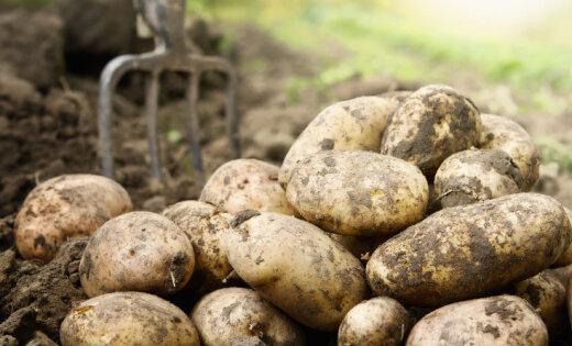 Latvijas dārzeņu audzētājiem lielākās problēmas patlaban sagādā lietus