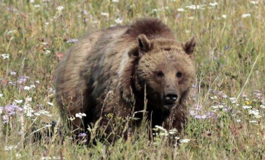 В Латвии обнаружены следы 10 медведей