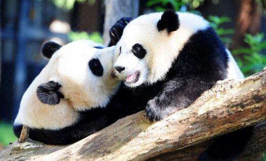 WWF: большие панды сейчас стали «уязвимым» видом вместо «вымирающего»