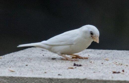 Pirmo reizi nofotografēts ļoti rets putns – albīns zvirbulis