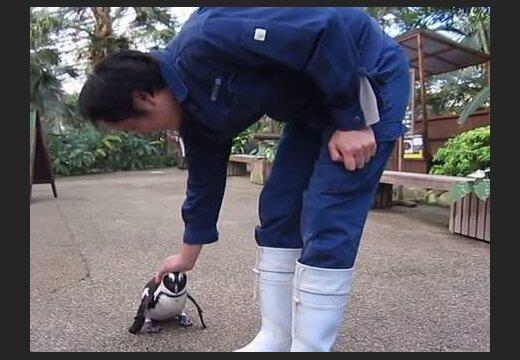 ВИДЕО: Трогательная любовь пингвина к работнику зоопарка