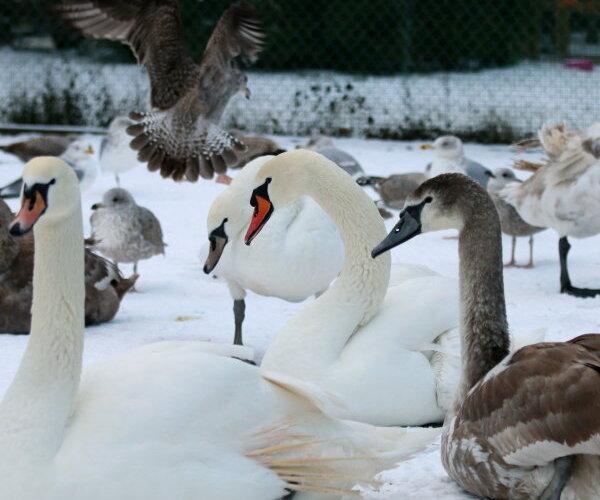 Kā rīkoties, redzot ledū 'iesalušu' gulbi? Anetes Asares cīņa par spārnoto radību dzīvībām