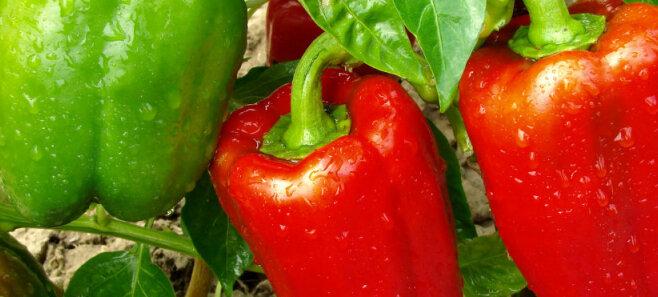 Как увеличить урожай перцев в августе