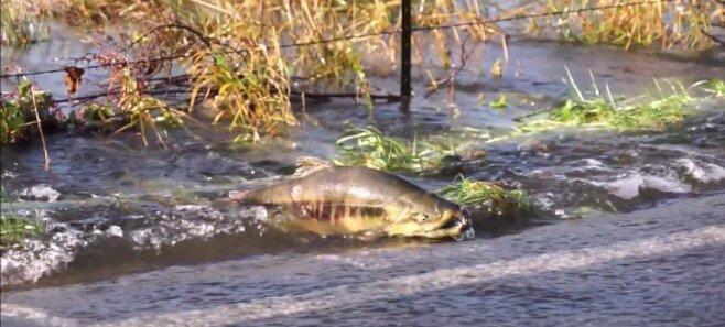 ВИДЕО: А для рыб перехода не предусмотрено!, или Как лососи дорогу переходили