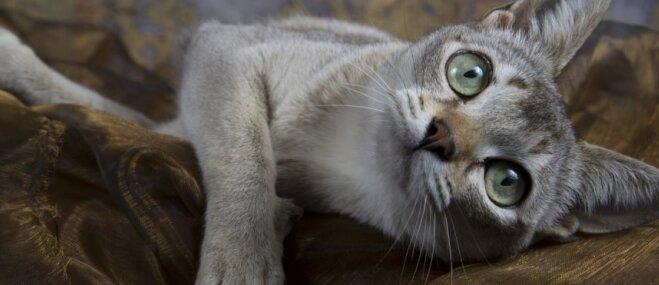 No ielas dzīvnieka par nacionālo talismanu – rotaļīgais Singapūras kaķis