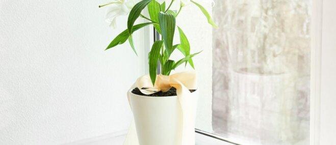 Noziedējusi lilija podiņā – kā to pārstādīt dārzā