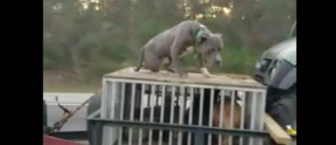 Šokējošs video: Ģimene ASV ved uz piekabes pieķēdētu suni