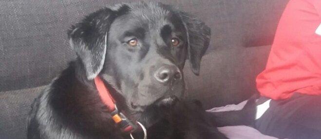 Pie Slokas karjera pazudis melns labradors Lords; saimnieki lūdz palīdzību meklēšanā