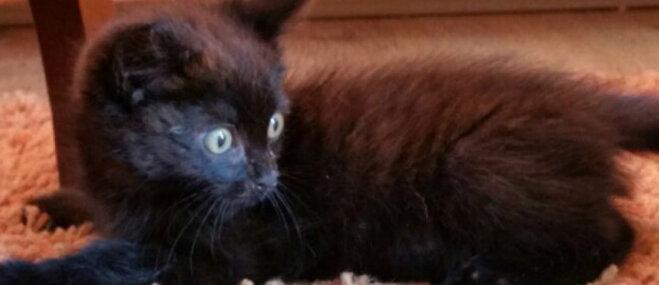 Pagaidu mājas vai pastāvīgus saimniekus meklē melns runcītis un pieaugusi kaķene