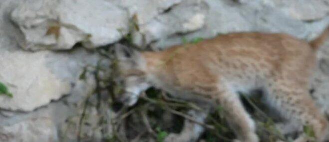 Video: Rīgas zoodārza Lūsēns pārceļas uz dzīvi ekoparkā Ukrainā