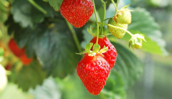 Как ухаживать за клубникой после сбора урожая: полив, обрезка, подкормки