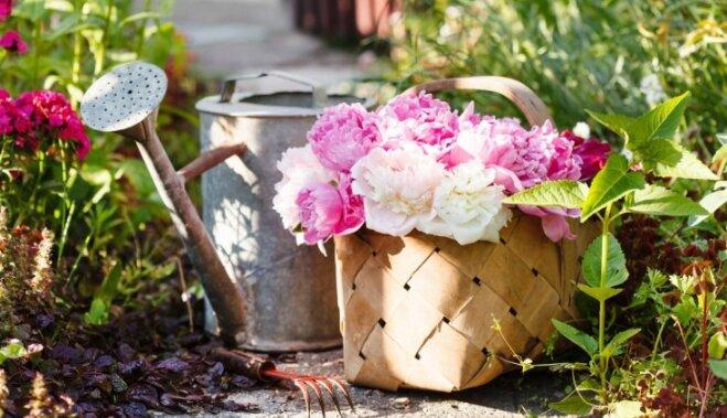 Все о цветах. Выращиваем пионы - посадка и уход в открытом грунте
