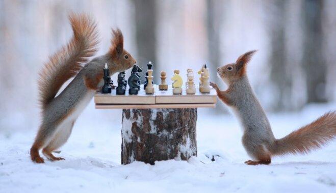 Foto: Spriganas vāveres kopā ar putniem ziemā uzspēlē šahu