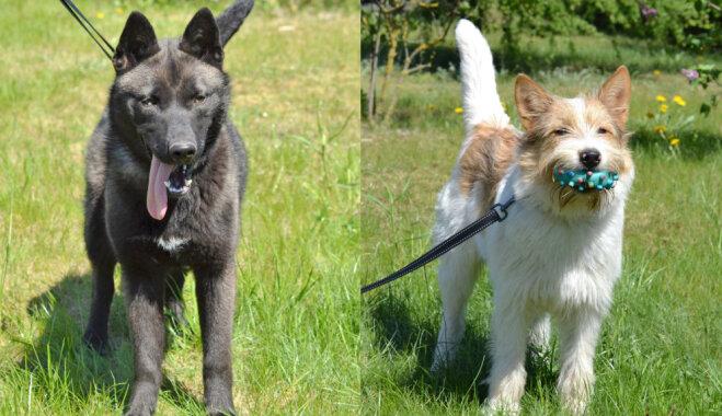 Suņu meitenes Peppe un Lēdija ilgojas pēc mīlošiem saimniekiem