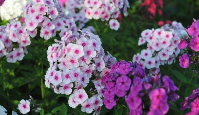 Создаем душистый сад: сажаем флоксы